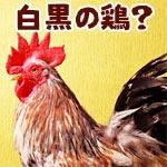 セブライトというイギリス原産の鶏が美しい白黒模様をしていた!