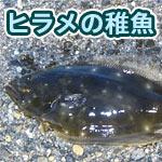 天然のヒラメの稚魚が透明感すごくて驚き!手が透けて見えるほど