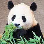 パンダのシンシンが後ろのシャンシャンにびっくりする動画が可愛い!