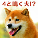 4と鳴く犬がいた!本当にヨンと聞こえる犬の鳴き声動画にびっくり