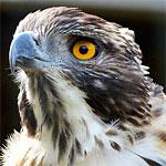 野生の鷹がやってきてインコ達が一斉に整列!王の凱旋を迎える国民みたいw