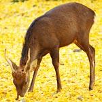 枯葉に包まれた鹿が可愛い!寒い日に奈良で見かけたぬくぬく光景