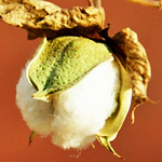 サマフェスに見える綿の収穫が話題に!観客が盛り上がっているように見える
