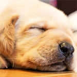 寝ながら椅子を食べている犬が面白いw夢の中で何かをガジガジ…