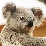 オーストラリアの動物園にいるセーラームーンの格好をしたコアラが怖い…