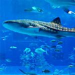 のとじま水族館でこたつに入ってジンベエザメを眺めるイベント開催中!